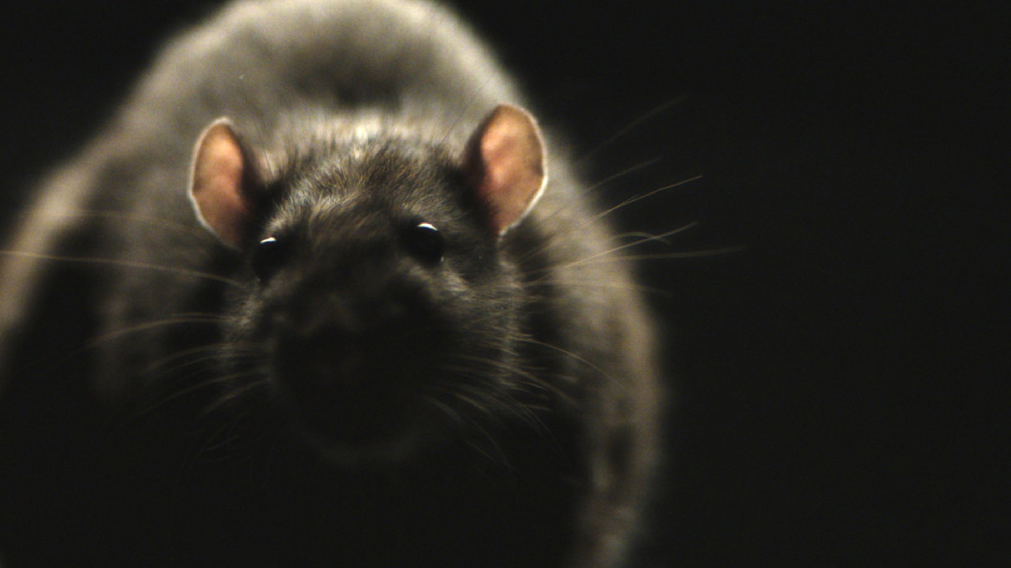 Morgan Spurlock\'s Rats Trailer Will Make You Scared To Sit On A NYC ...