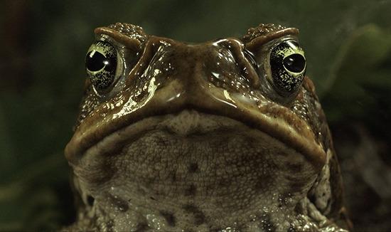 cane-toads-the-conquest-1